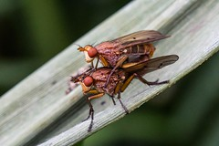 Mating Flies (me'nthedogs) Tags: somerset flies mating levels fruitfly westhay