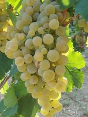 Vintage 2015 (Sparkling Wines of Puglia) Tags: grapes uva vendemmia bombinobianco
