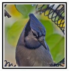 Nature - Birds - Portrait of a Blue jay - Cyanocitta cristata. (Bill E2011) Tags: blue colour nature nuts insects bluejay northamerica noisy jaybird passerine garrulous