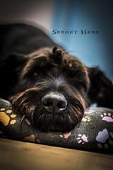 Atos. (Serket Heru) Tags: dog animals interior footprints indoor perro animales huellas
