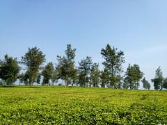 Tea Farm (iqronaldo) Tags: fish west garden java fisherman mess tea farm web teh bandung jawa waduk rumah malabar barat pangalengan danau situ boscha bosscha cileunca belanda nusantara perkebunan cisanti cipanunjang