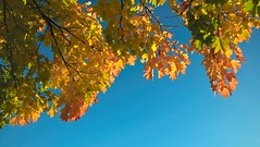 Autumn Sky (Tobymeg) Tags: blue autumn sky orange fall leaves yellow scotland october cloudless 640 lumia lte