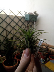 T. Ionantha Druid (hug0ncalves) Tags: portugal nature details collection druid setubal collector colecionador airplants tillandsias colecao plantasaereas ionanthan tillandsiaionanthandruid