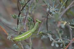 Ameles (esta_ahi) Tags: barcelona españa insectos fauna spain penedès mantodea mantidae ameles испания fontrubí lalzinar