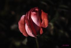 """Para los corazones que sufren. 19 de Octubre: dia del """"Cáncer de mama"""" (Argos351Photo) Tags: naturaleza flower color luz fleur flor rosa fuerza sensibilidad"""