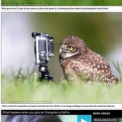Comedy Wildlife Photography Awards Finalist (Megan Lorenz) Tags: wild bird nature wildlife contest owl avian birdofprey wildanimals finalist burrowingowl 2015 owlet photographycontest mlorenz meganlorenz comedywildlifephotographyawards