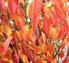 The best I've ever seen (billnbenj) Tags: pink autumn red orange yellow autumnleaves cumbria beech barrow beechtree