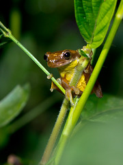 Executioner Clownfrog, female (Eerika Schulz) Tags: ecuador frog toad frosch carnifex krte executioner mindo dendropsophus clownfrog