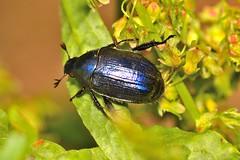 Anomala sp. (Jess Tizn Taracido) Tags: coleoptera rutelinae anomala rutelidae polyphaga scarabaeoidea scarabaeiformia anomalini