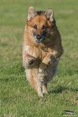 Max GSD (Mick Erwin) Tags: shepherd german alsatian alsation gsw 80400 d810