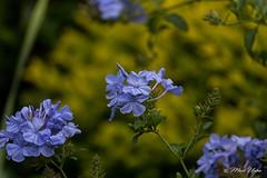 Plumbago Royal Cape. (markwupton) Tags: blue flower beautiful plumbago