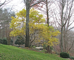 Chinese fringe tree - leaves at peak (Vicki's Nature) Tags: 2001 autumn leaves yellow canon georgia december peak s5 chinesefringetree vickisnature gibbsgardens