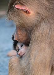 mantelbaviaan emmen JN6A9857 (j.a.kok) Tags: monkey baboon emmen baviaan papiohamadryas mantelbaviaan hamadryasbaboon