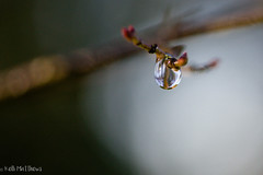 Sunny, Dewy Morning (kellimatthews) Tags: macro waterdrop branch dof bokeh outdoor depthoffield