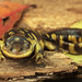 Eastern Tiger Salamander, Female