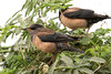 Rosy Starling - Pastor roseus (Roger Wasley) Tags: rosy starling pastor roseus little rann kutch gujarat india bird indian wild
