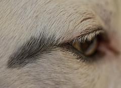 At the Corner of His Eye (Shastajak) Tags: sqlpronouncedsequel eye eyeofthedog corner splodge smudge lashes hair macro