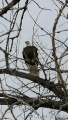 December 10, 2016 - A Bald Eagle in the trees at McKay Lake in Broomfield. (David Canfield)