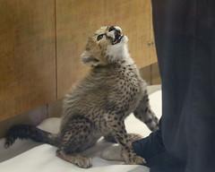 Excuse Me Sir, Are You My Mommy? (Penny Hyde) Tags: babyanimal bigcat cheetah cub safaripark
