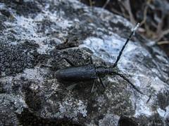Cincérfaj (jetiahegyen) Tags: rovar insect animal pilis kirándulás túra túrázás tour hiking