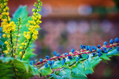 Berries & Blooms (Colormaniac too) Tags: oregongrape mahonia shrub landscaping pacificnorthwestnativeplant january cheerful garden colorful sequim olympicpeninsula washingtonstate winter pacificnorthwest blooming berries flowers topazglow topaztextureeffects