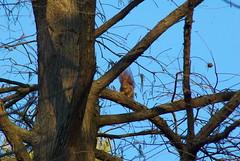 Sciurus vulgaris 3, on Metasequoia glyptostroboides (Fabio.Buoso) Tags: sciurus vulgaris scoiattolo europeo