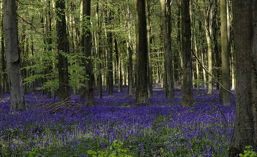 Bluebells in the trees