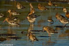 Aguja colinegra Black-tailed Godwit (Limosa limosa) (Corriplaya) Tags: corriplaya birds aves agujacolinegra blacktailedgodwit limosalimosa ringeuropelimosalimosa