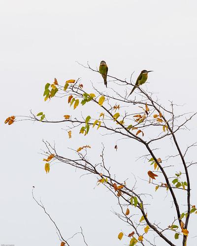 Olive bee-eater/Merops superciliosus, border,