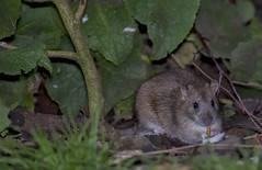 DSC_5883 Anyone for mealworms (Rattyman76) Tags: rat mealworm feeding eating magmod magbeam