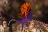 nudibranch1Dec17-16 (divindk) Tags: anacapa anacapaisland californiaunderwater channelislands channelislandsnationalpark flabellinaiodinea sanmiguelisland santabarbara santacruzisland santarosaisland underwater ventura aeolid color diverdoug eyes marine nudibranch ocean reef sea seaslug spanishshawl underwaterphotography bestfriends cockerellsdorid limaciacockerelli