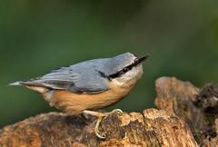 Boomklever - Sitta europaea (wimberlijn) Tags: hanbouwmeesterhut4 boomklever sittaeuropaea standvogel zangvogel vogel natuur nuthatch statebird songbird bird wildlife nature animal
