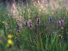 Sommerwiese (g e g e n l i c h t) Tags: wiese impression sommer juli natur pflanzen blüten gras gräser summicronr1250mm prunella vulgaris lamiaceae lippenblüter braunelle
