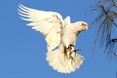 Final approach (Howard Ferrier) Tags: oceania wings themes australia flying seq sky sunshinecoast happyvalley littlecorella bird anatomy airborne alighting landing caloundra cockatoo queensland alight cacatuasanguinea cacatuidae corella fly land