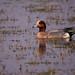 লালশির, দুবরাখাওরি হাঁস, Eurasian wigeon,Anas penelope (Emu Alim) Tags: birds nikond5 afsnikkor800mmf56efled afsteleconvertertc800125e gitzo wh200wimberleyheadversioni afsnikkor800mmf56efledvr afsteleconvertertc800125eed wh200wimberleyheadversionii লালশির দুবরাখাওরিহাঁস eurasianwigeon anaspenelope