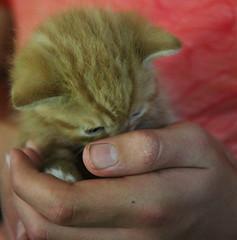 2016 Pussy (Steenvoorde Leen - 2.7 ml views) Tags: 2016 doorn utrechtseheuvelrugpussy puss cat kat poes jong young katze chat minou mieze pussycat pussy pet kitten