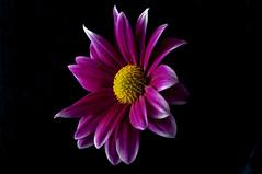 Daisy Harlequin (jrosvic) Tags: macro closeup flower flor nikond90 nikon60mm28dmicro cartagena murcia spain planta fondonegro
