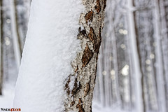 IMG_9552 (paulPavlos12) Tags: snow spruce tree bokeh forest cold winter watermark