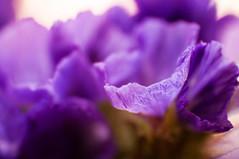 _DSC1537 (KateSi) Tags: flowers fleurs flores flower fleur blom blomster flor plant plants macro purple morado lilla violet nikon nikond90 depthoffield