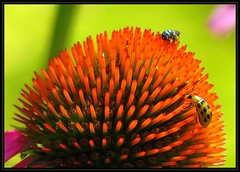 IMG_5844 Sharing the Planet 7-3-16 (arkansas traveler) Tags: bee beetle cucumberbeetle bichos bugs insects flower echinacea nature naturewatcher natureartphotography bokeh bokehlicious zoom telephoto