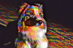 Rainbow dog (Arnolt S.) Tags: color colorful bunt colors dog australianshepherd hund nikon nikond3100 nikkor5018 50mm animal aussie