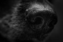 568D5125.jpg (CookiesForDevo) Tags: germanshepherddog germanshepherd macro snout nose closeup