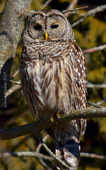 Barred Owl in the Sunshine  10 (Arvo P) Tags: barredowl outdoors ontario owl wildlife winter wings canada arvopoolar perched nature natural nikond7000 naturallight naturephotography raptor bird birdofprey