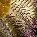 Urchin detail - Temnopleurus alexandri