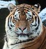 amurtiger Taymir Ouwehands JN6A2630 (j.a.kok) Tags: tijger amoertijger siiberischetijger tiger amurtiger siberiantiger taymir ouwehands cat kat predator mammal zoogdier siberia asia azie snow