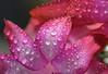 Dimond Star. (Omygodtom) Tags: red waterdrops raindrop macro texture tamron nikkor nature nikon d7100 tamron90mm star diamond digital