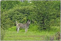_DSC5614PJ_resultat (http://phj.bookfoto.com/) Tags: botswana philippe jubeau afrique delta okavango zebre