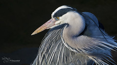 Grey Heron (Paula Darwinkel) Tags: great blue heron blueheron bird nature wildlife portrait animal wow