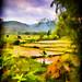 Mai Chau Valley paddy field Impression