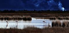 Magic moments (Jambo Jambo) Tags: birdwatching cacciafotografica birds uccelli fenicotteri flamingos diaccia diacciabotrona riservanaturalediacciabotrona castiglionedellapescaia grosseto maremma maremmatoscana maremmacountryside toscana tuscany italia italy jambojambo padule palude swamp marsh nikond5000 pontidibadia nikonflickraward